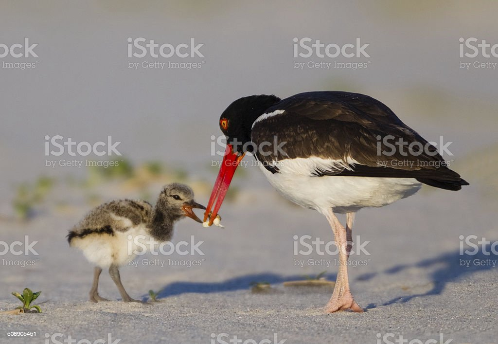 Oyster Catcher Feeding Chick stock photo