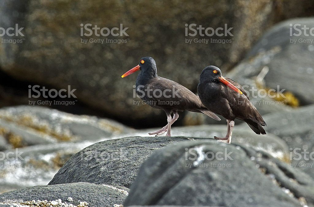 Oyster catchers stock photo