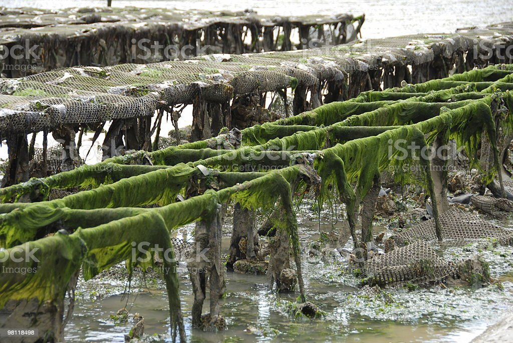 Oyster farm stock photo