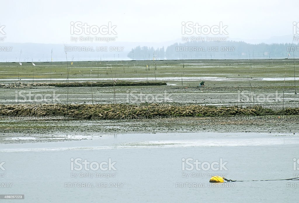 Oyster farmer working on tide flats in Washington state stock photo