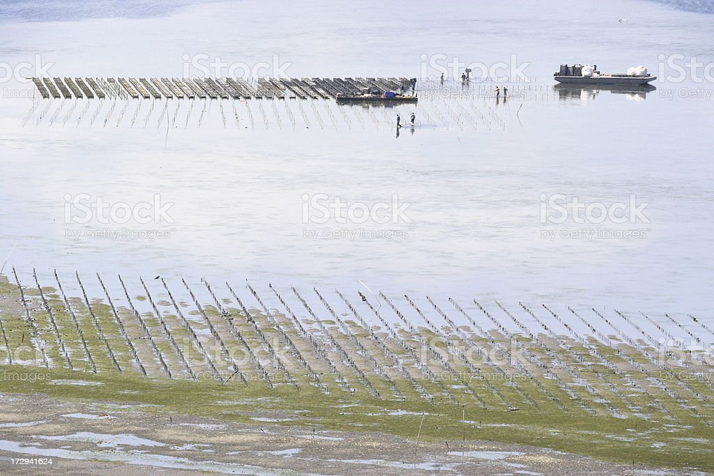 Oyster Fish Farm Harvest stock photo