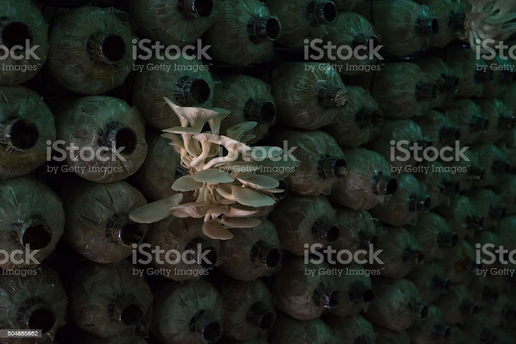 Pleurote sortant du sac en plastique dans le farm photo libre de droits
