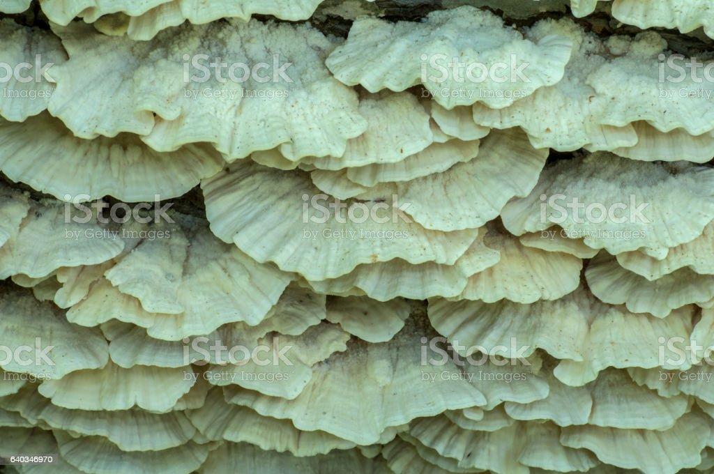 Oyster Mushroom, Pleurotus ostreatus stock photo