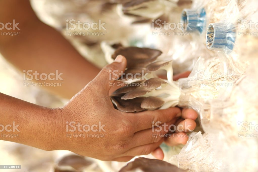 oyster mushrooms on the hand stock photo