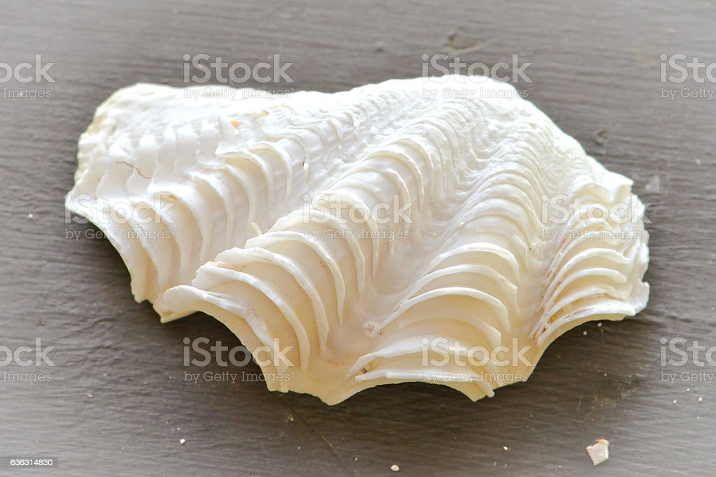 Oyster white shell stock photo