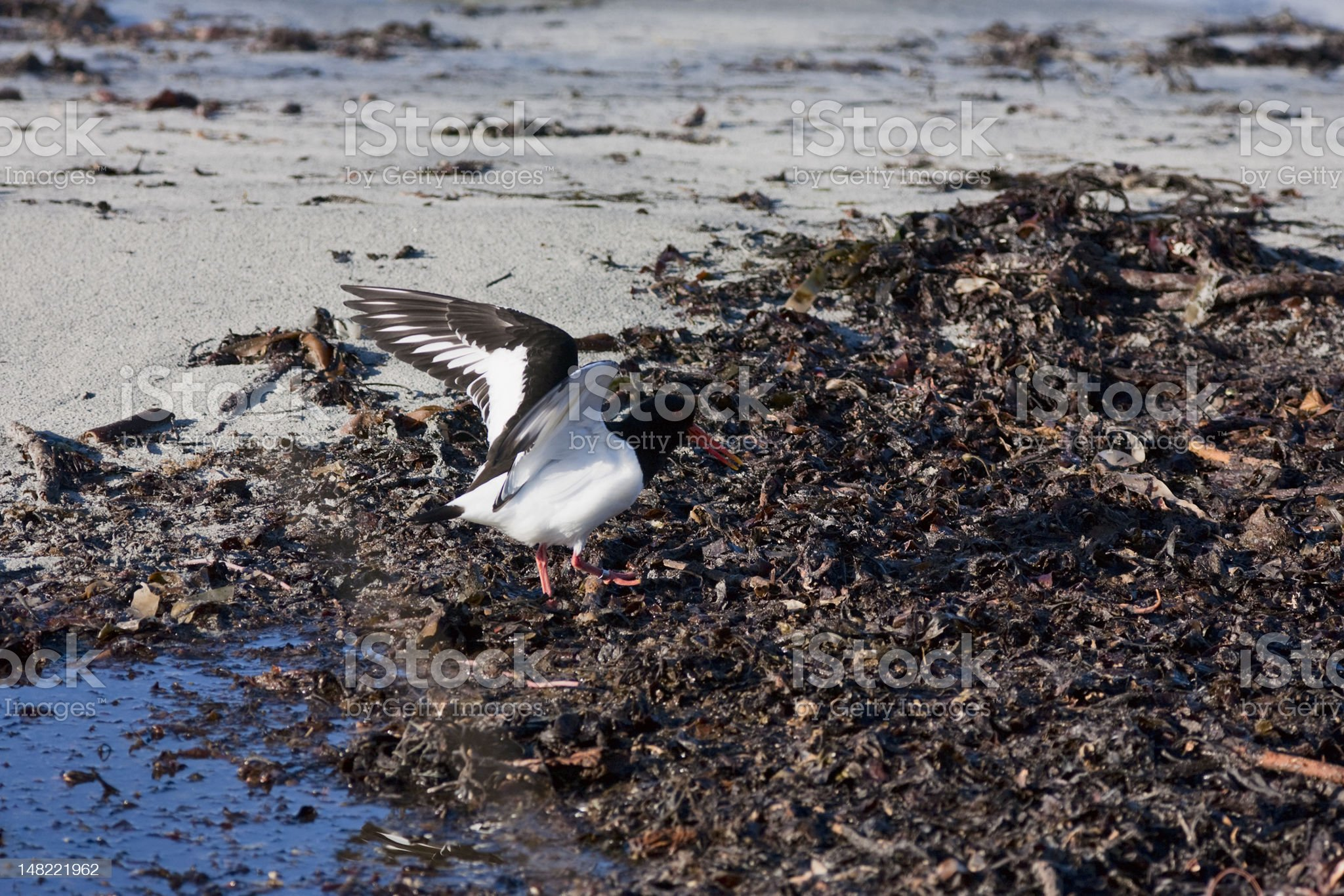 Oystercatcher bird royalty-free stock photo