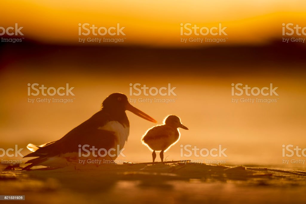 Oystercatcher Chick Glow stock photo