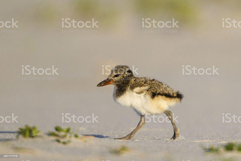Oystercatcher Chick stock photo