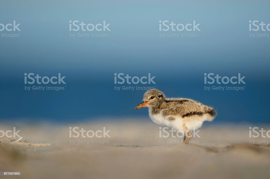 Oystercatcher Chick stock photo
