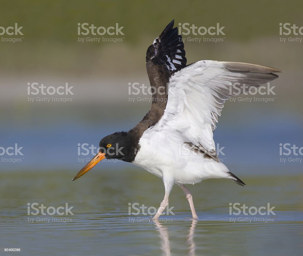 Oystercatcher flapping it's wings stock photo