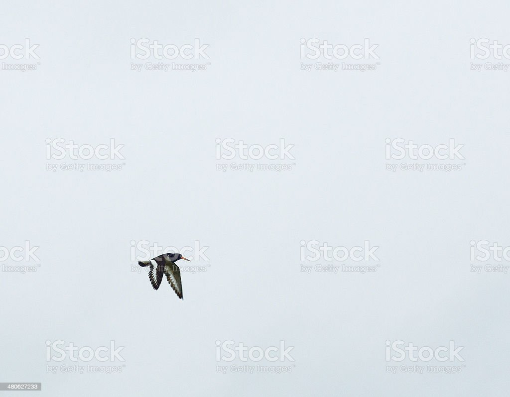 Oystercatcher in Flight royalty-free stock photo