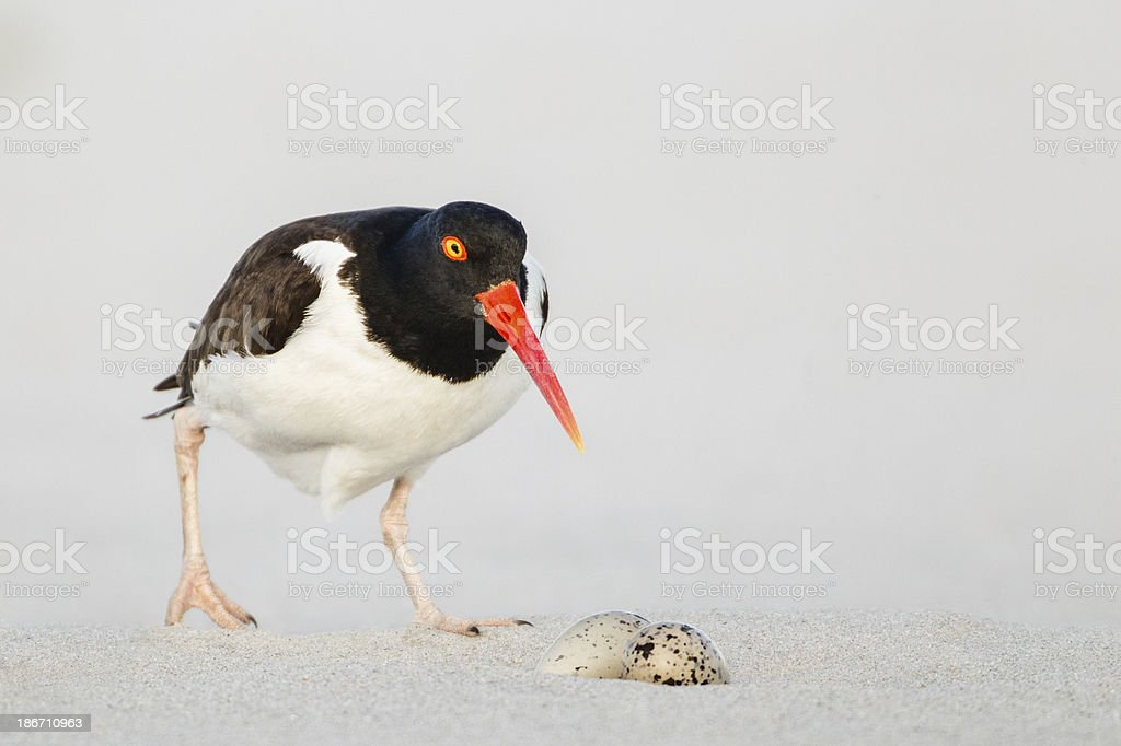 Oystercatcher Nest with Eggs stock photo