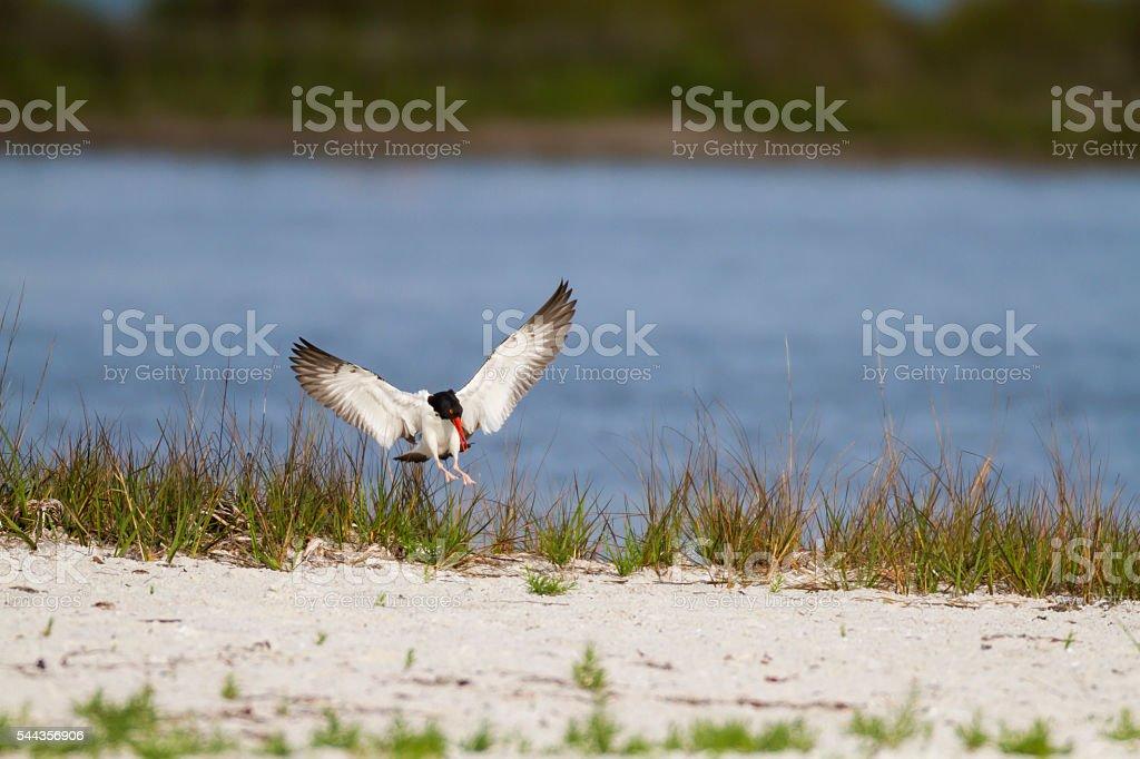 Oystercatcher wings spread stock photo