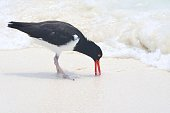Oystercatcher with Bill in Sand