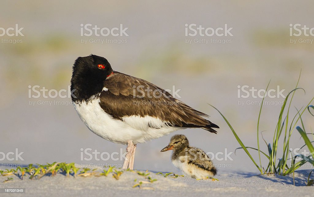 Oystercatcher with Chick stock photo
