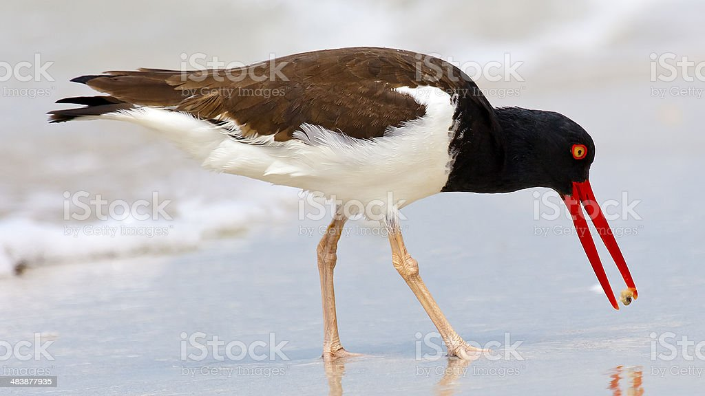oystercatcher (Haematopus palliatus)  with crab stock photo