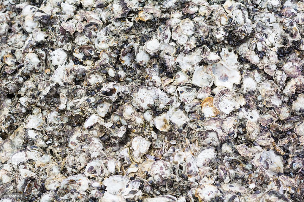 oysters background and texture stock photo