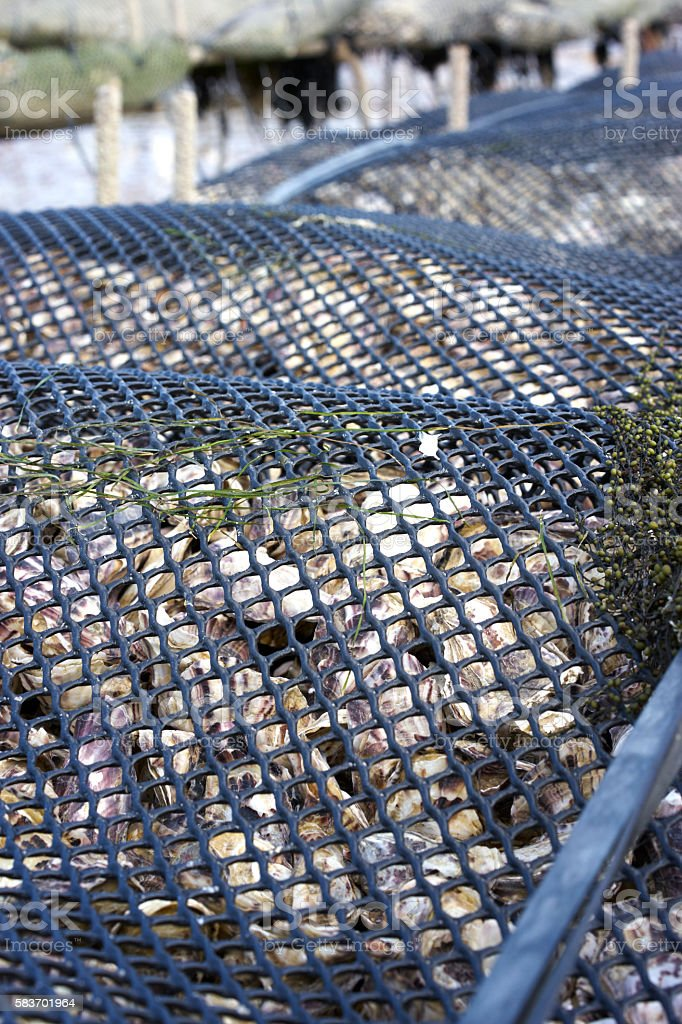 Oysters being farmed in a bag stock photo
