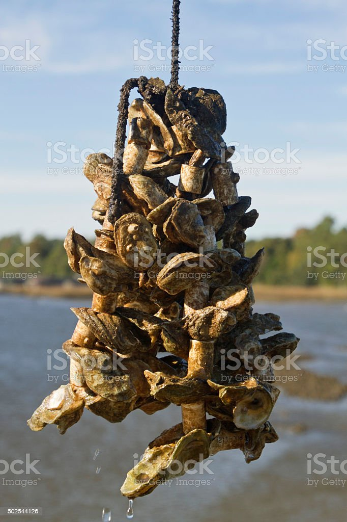 Oysters Being Farmed on Rope Lines stock photo