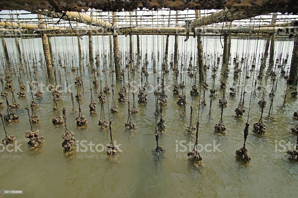 oysters farm in the sea stock photo