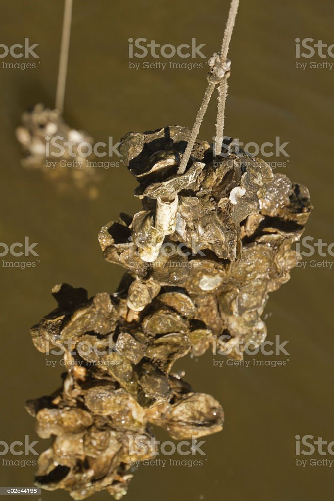 Oysters Farmed on Lines stock photo