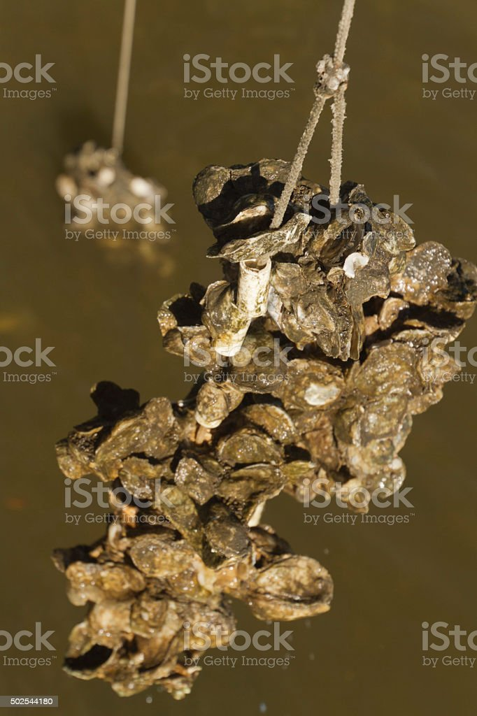 Oysters Grown on Ropes stock photo