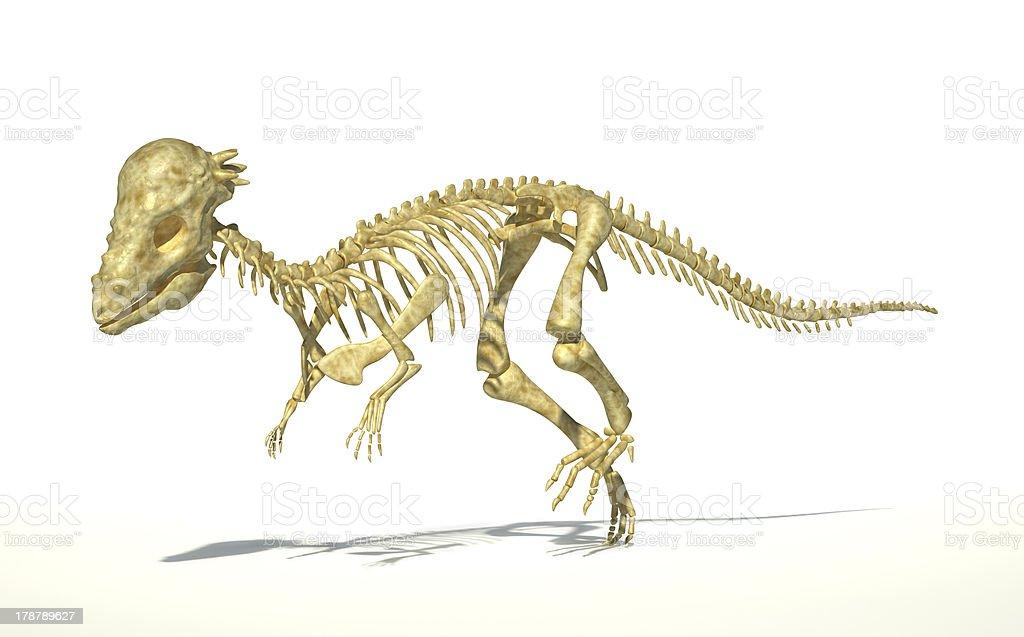 Pachycephalosaurus dinosaur, full photorealistic skeleton, scientifically correct. perspective view. royalty-free stock photo