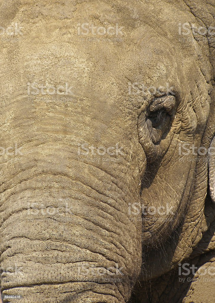 Pachyderm Portrait royalty-free stock photo