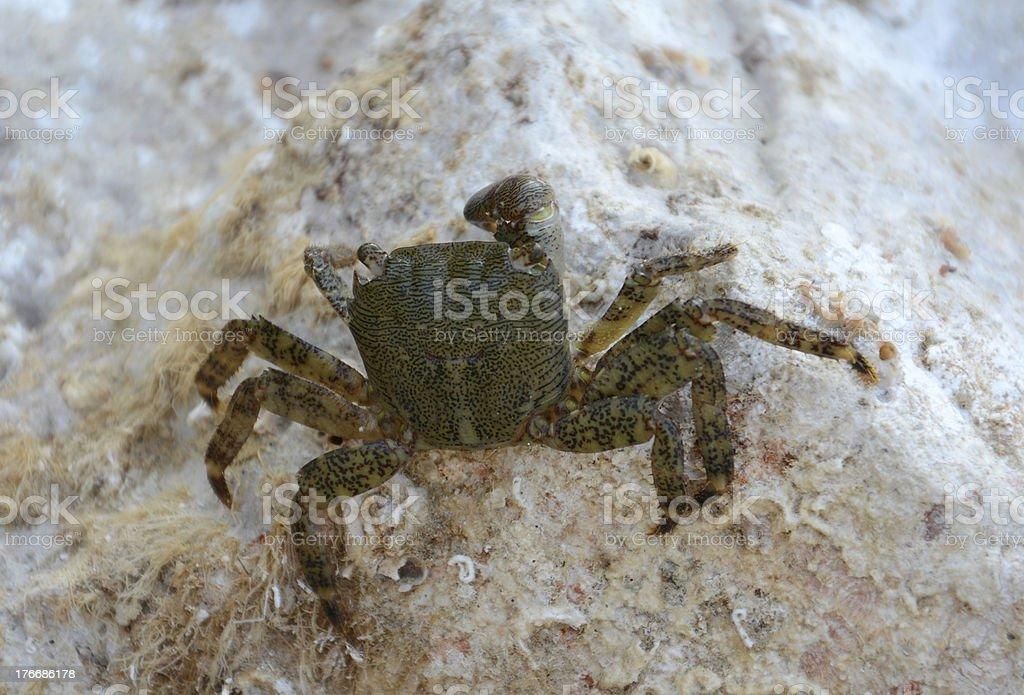 Pachygrapsus marmoratus Fabricius stock photo