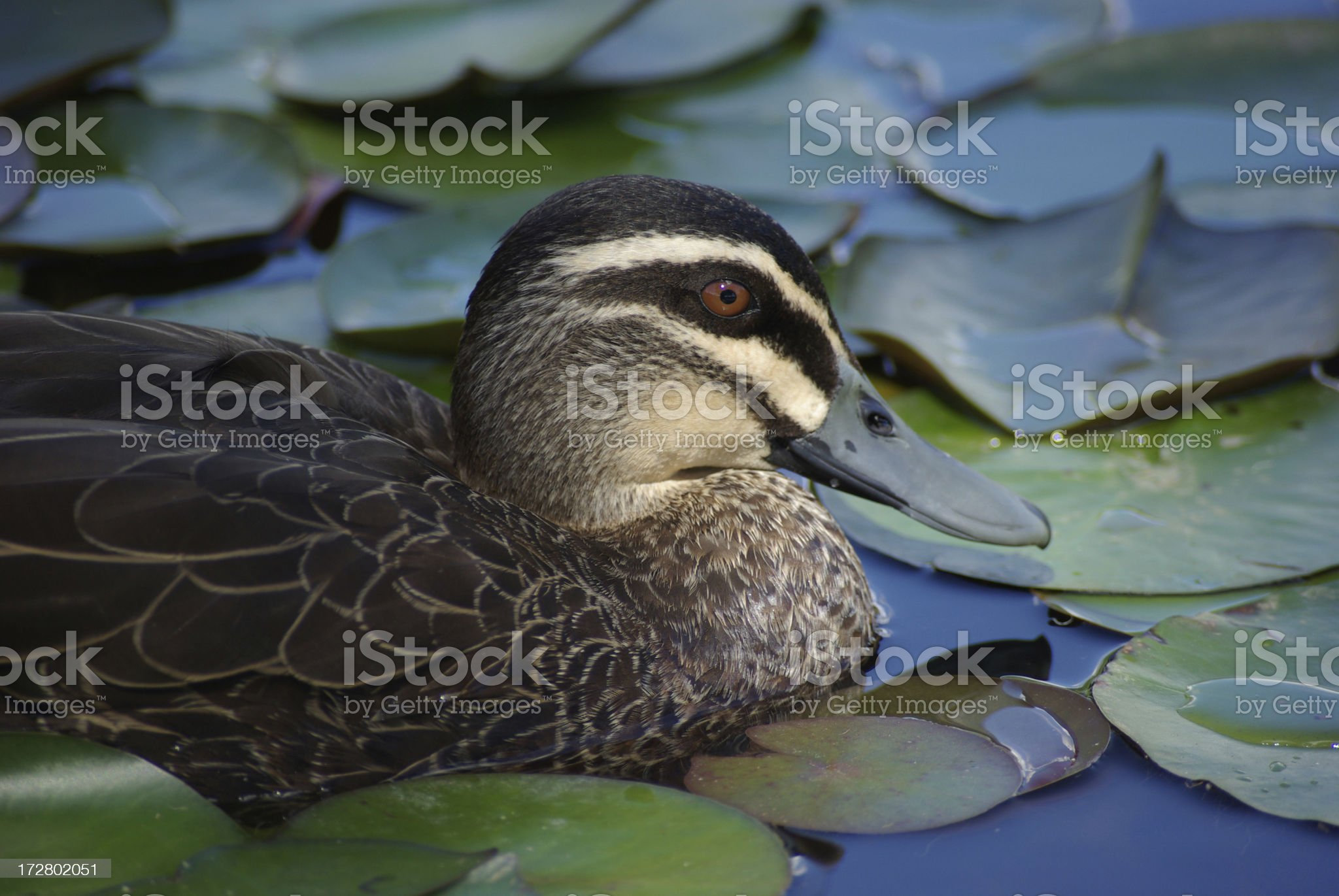 Pacific Black Duck royalty-free stock photo