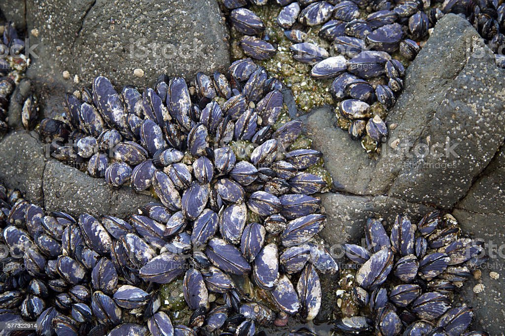 Pacific Blue Mussels stock photo