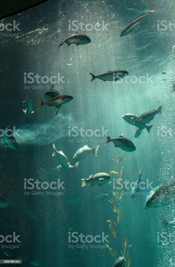 Pacific chub mackerel Scomber japonicus stock photo