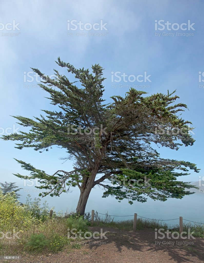 Pacific Cypress stock photo