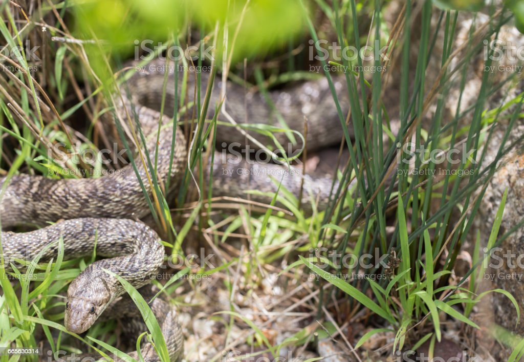 Pacific Gopher Snake (Pituophis catenifer catenifer) looking with cautious. stock photo
