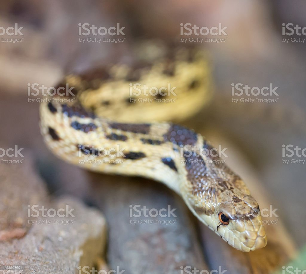 Pacific Gopher Snake (Pituophis catenifer catenifer) stock photo