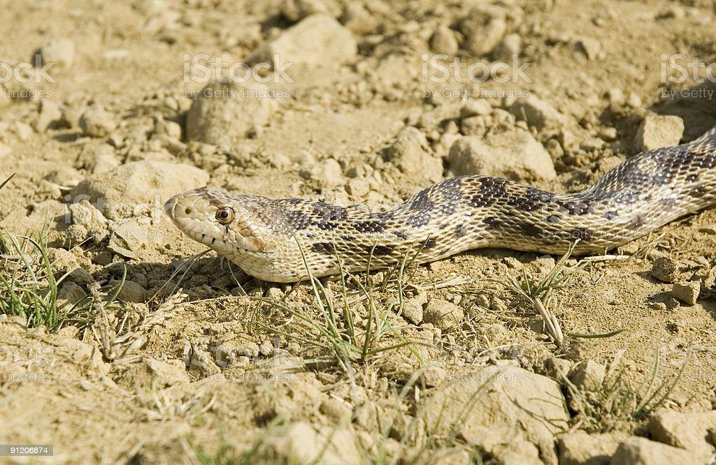 Pacific Gopher snake stock photo