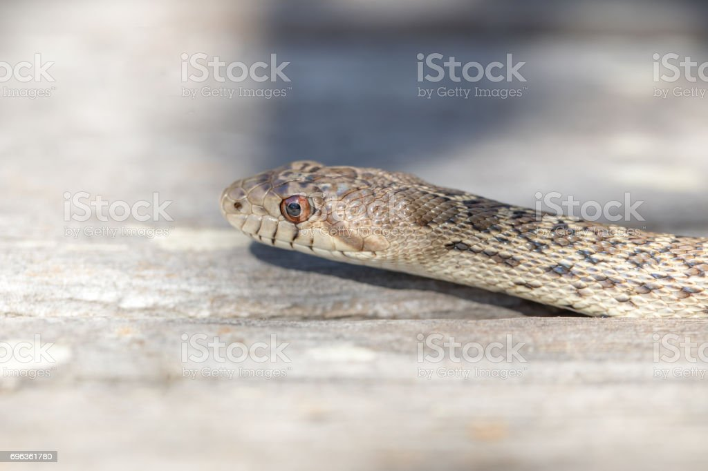 Pacific Gopher Snake - Pituophis catenifer catenifer. stock photo
