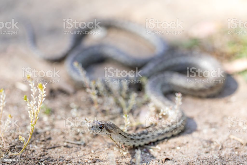 Pacific Gopher Snake - Pituophis catenifer catenifer stock photo