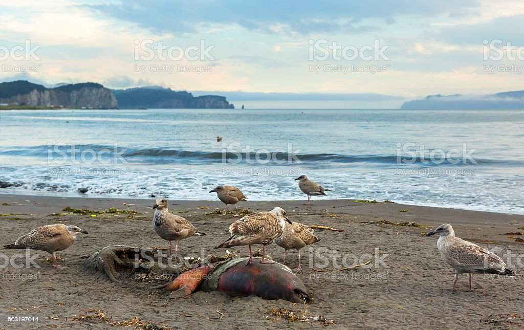 Pacific Gull eating dead seal on the beach. stock photo