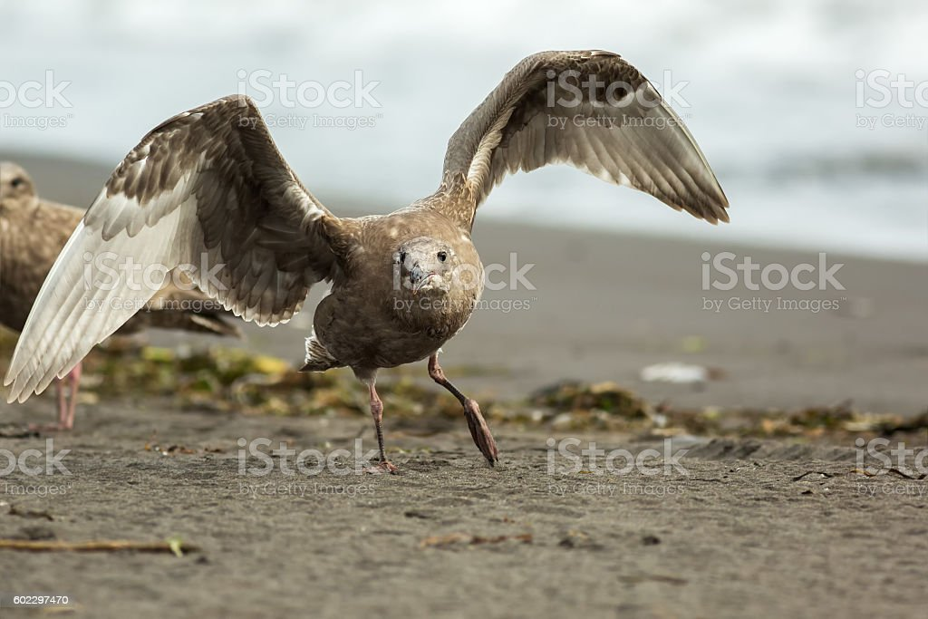 Pacific Gull on the shore of Ocean. stock photo
