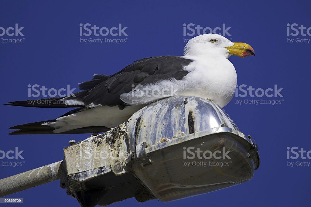 Pacific Gull stock photo