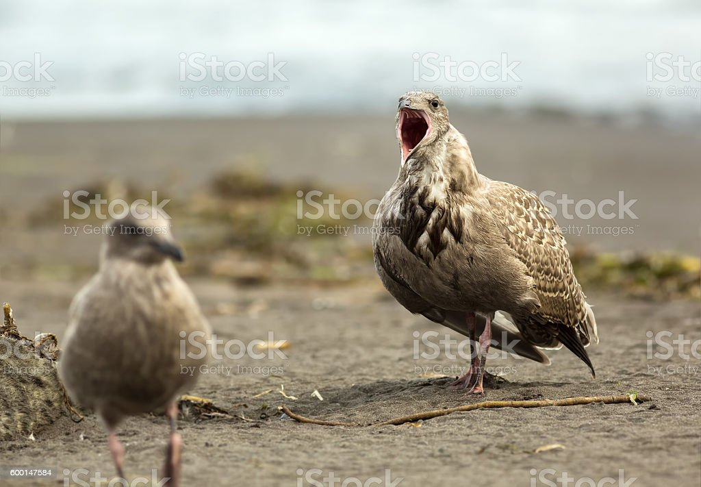 Pacific Gull shows aggression on ocean. stock photo