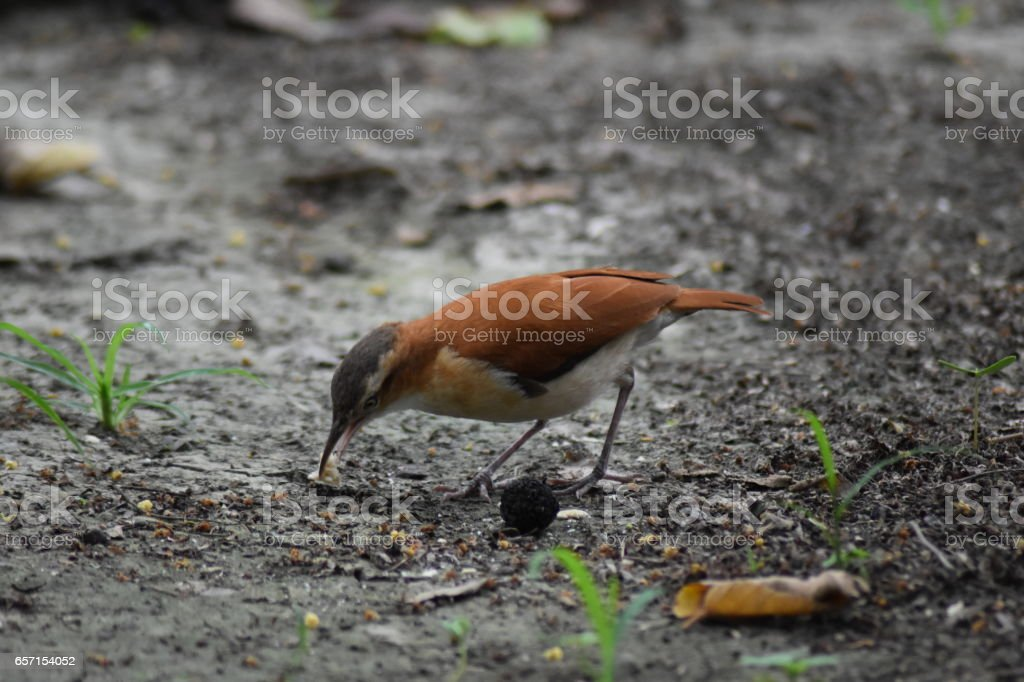 Pacific Hornero hopping on the forest floor stock photo