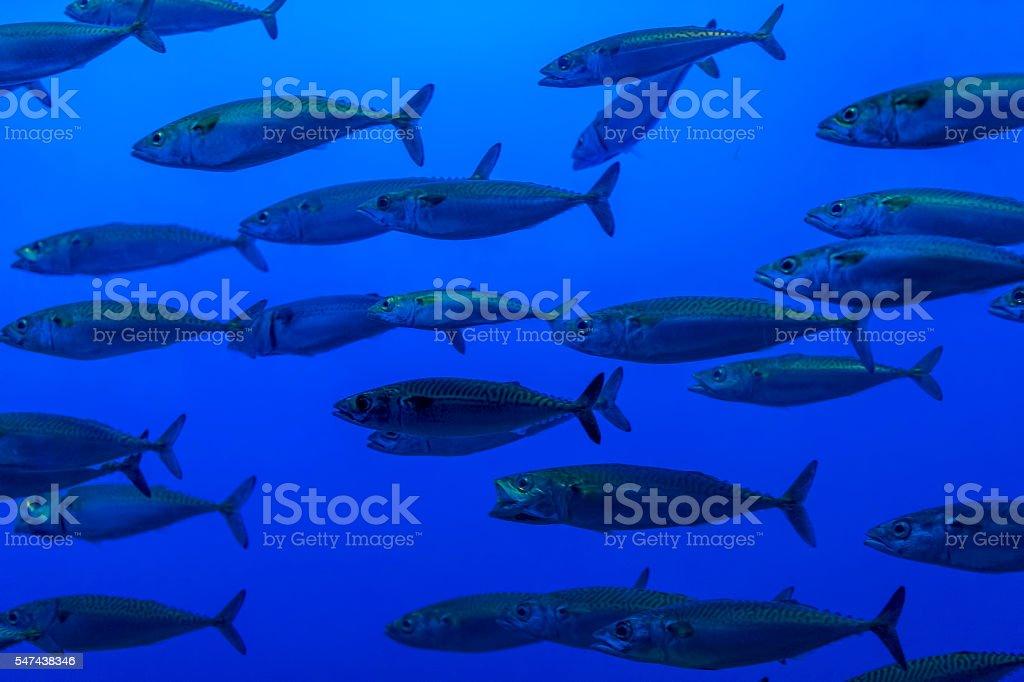 Pacific Mackerel stock photo