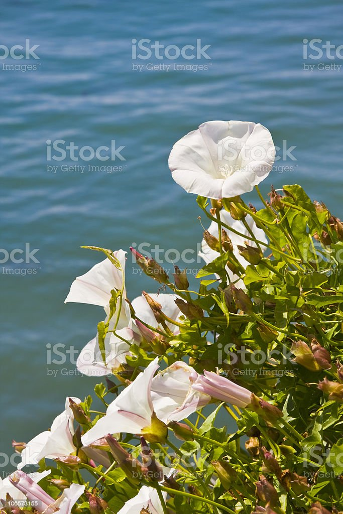 Pacific Morning Glory Flowers royalty-free stock photo