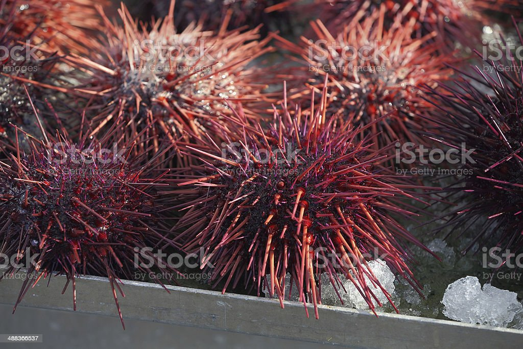 Pacific Northwest Sea Urchins royalty-free stock photo