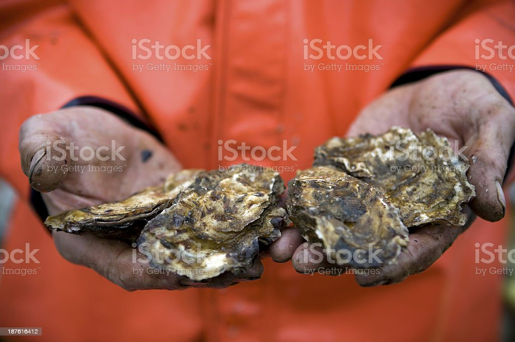 Pacific Oyster Aquaculture Alaska stock photo