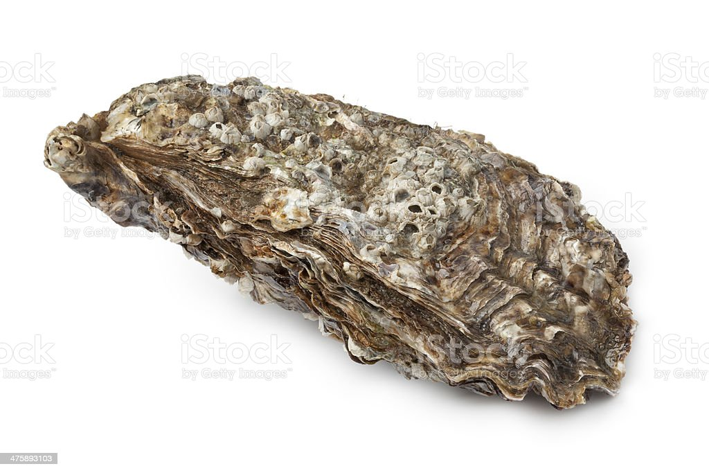 Pacific oyster stock photo