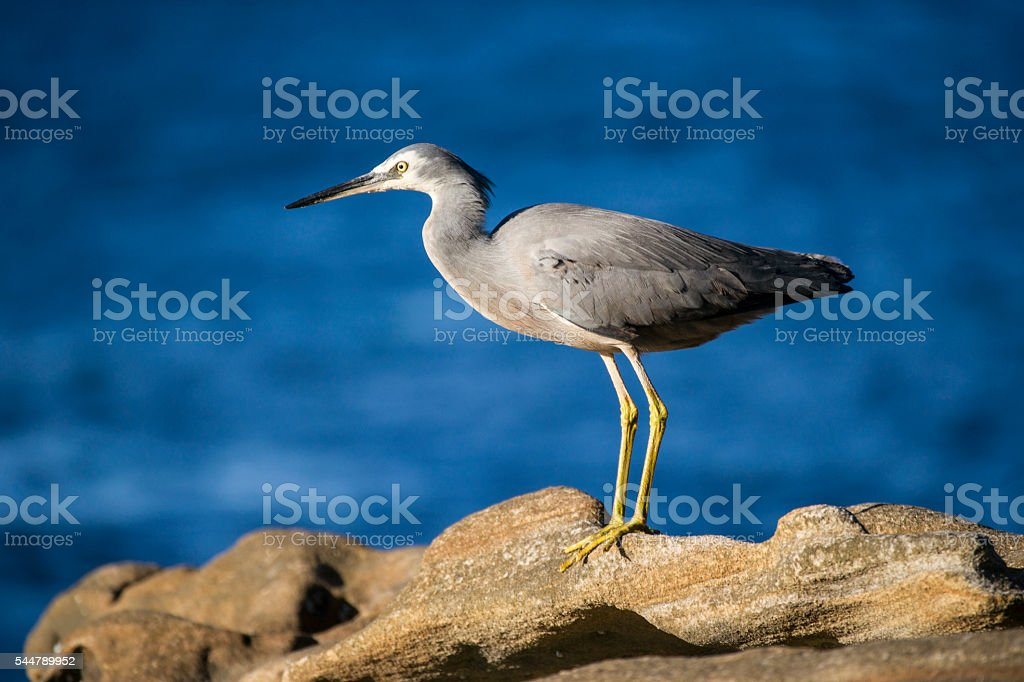 Pacific Reef Heron royalty-free stock photo