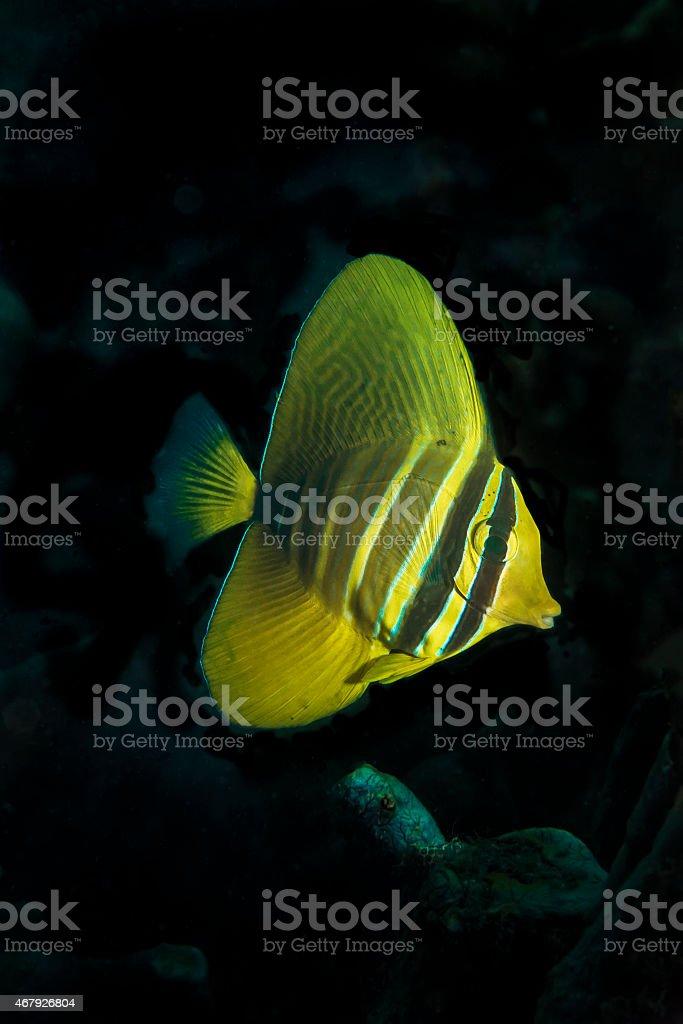 Pacific Sailfin Tang stock photo